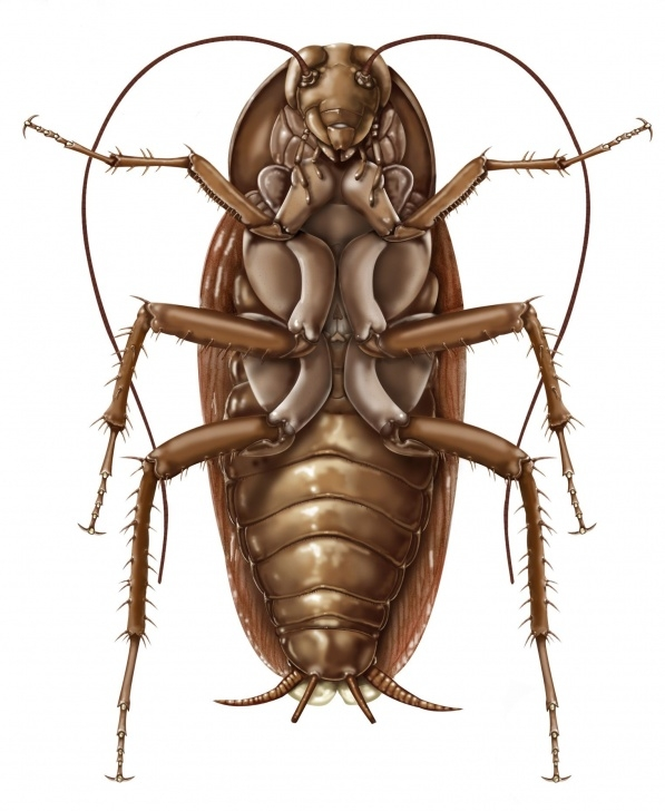 Learn Cockroach Pencil Drawing Free American Cockroach: Periplaneta Americana- Ventral Aspect; Graphite Images