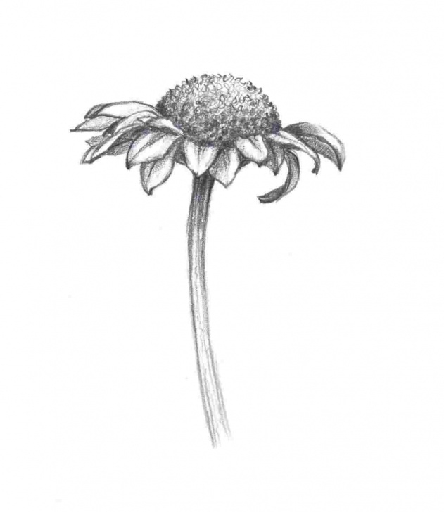 Learn Daisy Pencil Drawing Free Nature-Daisy-Pencil-Drawing-Sketches-To-Try-S-Yellow-Wild-Crafts Pics