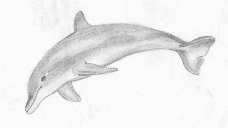Learn Dolphin Pencil Drawing Lessons How To Draw A Dolphin Pic