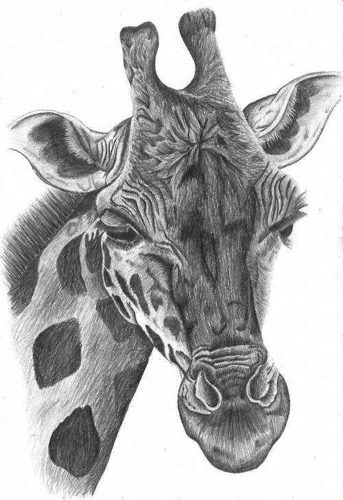 Learn Giraffe Pencil Drawing for Beginners Giraffe Drawing | Giraffe Pencil Drawing By Bethany-Grace On Images