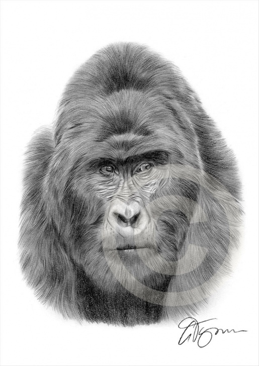 Learn Gorilla Pencil Drawing Free Mountain Gorilla Pencil Drawing Print - Wildlife Art - Artwork Signed By  Artist Gary Tymon - 2 Sizes - Ltd Ed 50 Prints - Pencil Portrait Pictures