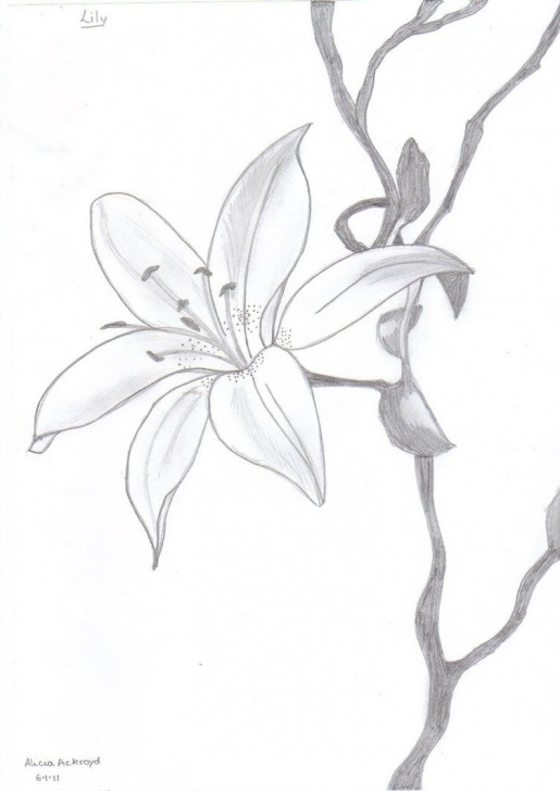 Lily Pencil Drawing