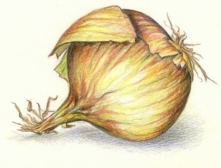 Learn Onion Pencil Drawing Lessons Onion Drawing Onion Color Pencil Drawing | Fruits & Veggies | Onion Pictures