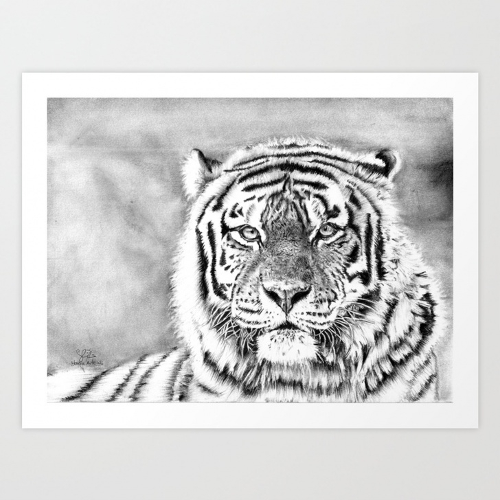 Learn Tiger Pencil Art Techniques Tiger Pencil Drawing Art Print Pic