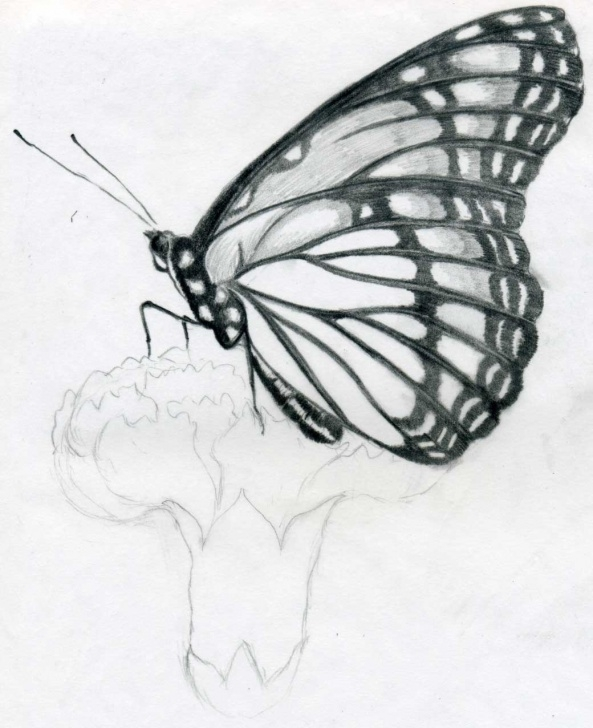 Learning Butterfly Pencil Sketch Step by Step Butterfly Pencil Drawings You Can Practice Pictures