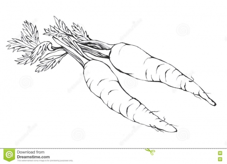 Learning Carrot Pencil Drawing Courses Carrots. Hand Drawn Black And White Illustration Stock Illustration Photos