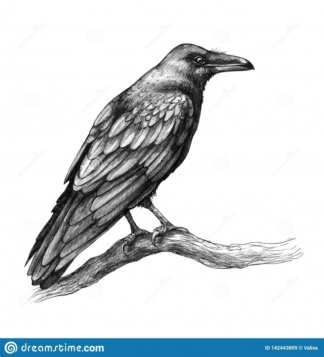 Learning Crow Pencil Drawing for Beginners Raven Side View Pencil Drawing Stock Illustration - Illustration Of Pics