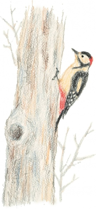 Learning Drawing Cute Animals In Colored Pencil for Beginners Woodpecker - Drawing Cute Birds In Colored Pencil [Book] Images