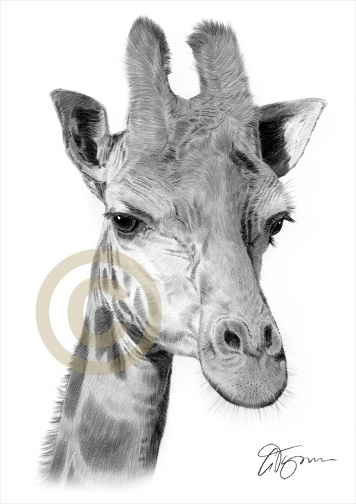Learning Giraffe Pencil Drawing Techniques for Beginners Pencil Drawing Of A Giraffe By Artist Gary Tymon Photos