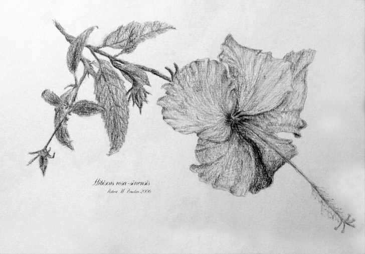 Learning Hibiscus Pencil Drawing Free Hibiscus Rosa-Sinenis, Pencil Drawing | Live In Symbiosis Picture