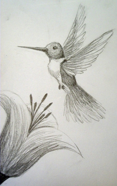 Learning Hummingbird Drawings In Pencil Step by Step Drawings Of Hummingbirds And Flowers At Paintingvalley | Explore Picture