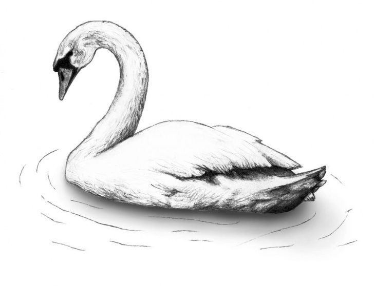 Swan Pencil Drawing