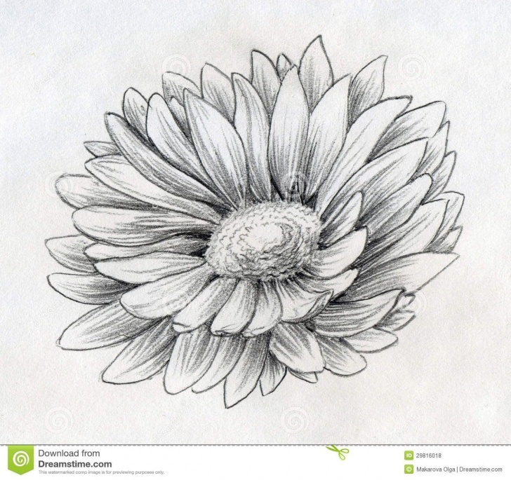 Marvelous Daisy Pencil Drawing Step by Step Daisy Drawings   Pencil Drawn Sketch Of A Single Daisy Flower With Pictures