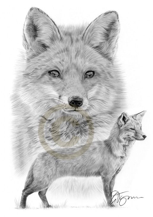 Marvelous Fox Pencil Drawing for Beginners Pencil Drawing Of Two Red Foxes By Artist Gary Tymon Pic