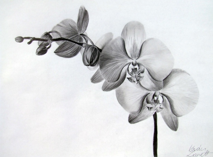Marvelous Orchid Pencil Drawing Lessons Orchid Flower Drawing In Pencil And Orchid Flower Drawing In Pencil Images