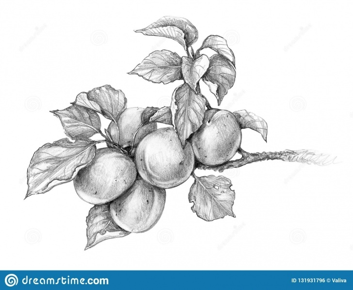 Marvelous Pencil Sketch Of Fruits Techniques for Beginners Apricot Branch Pencil Drawing Stock Illustration - Illustration Of Photo