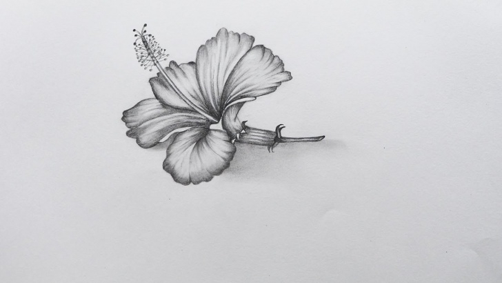Marvelous Pencil Sketch Of Hibiscus Flower Easy How To Sketch Hibiscus Flower Images