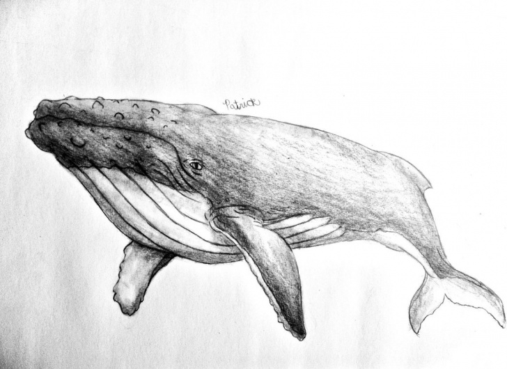 Marvelous Whale Pencil Drawing Tutorial Humpback Whale Pencil Sketch And Humpback Whale Picture