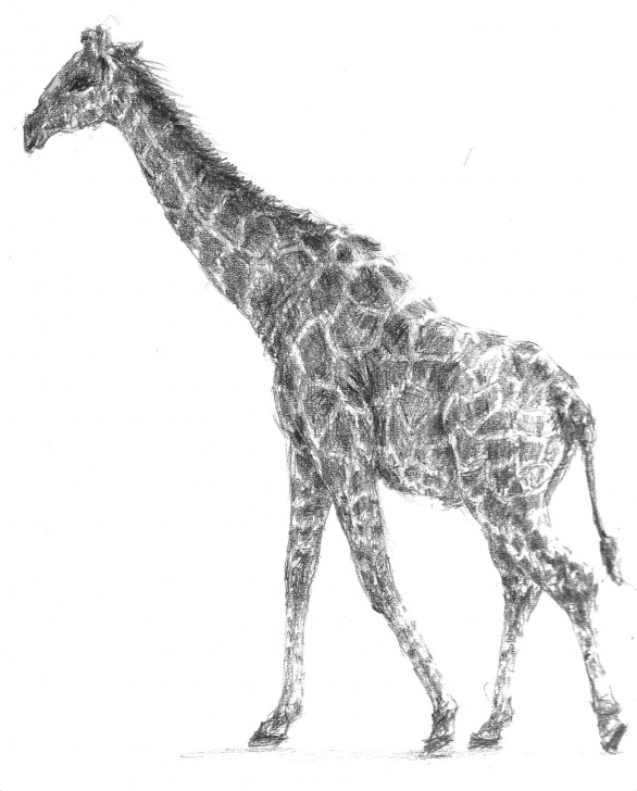 Most Inspiring Giraffe Pencil Drawing Tutorials Giraffe Pencil Sketch At Paintingvalley | Explore Collection Of Pictures