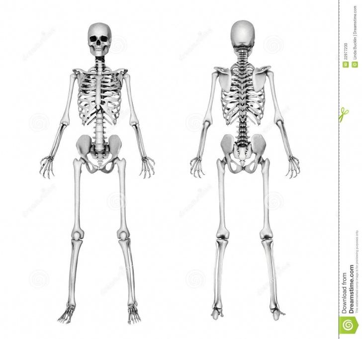 Most Inspiring Skeleton Pencil Drawing Tutorials Skeleton Front & Back - Pencil Drawing Stock Illustration Pic