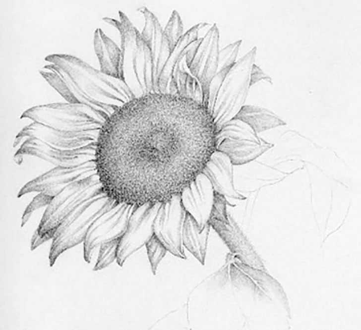 Most Inspiring Sunflower Pencil Drawing Free Sunflower Pencil Drawing And Realistic Sunflower Drawing Sunflower Pictures