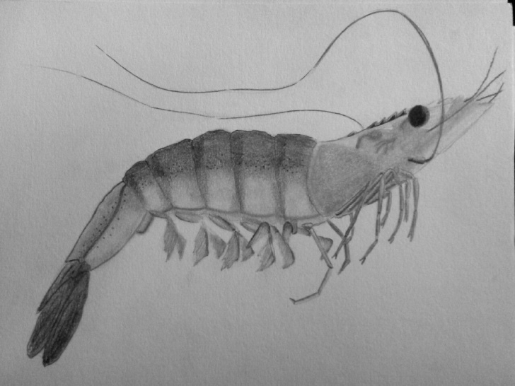 Nice Crab Pencil Drawing Techniques for Beginners Shrimp | Drawings In 2019 | Sea Life Art, Sea Glass Art, Coastal Art Image