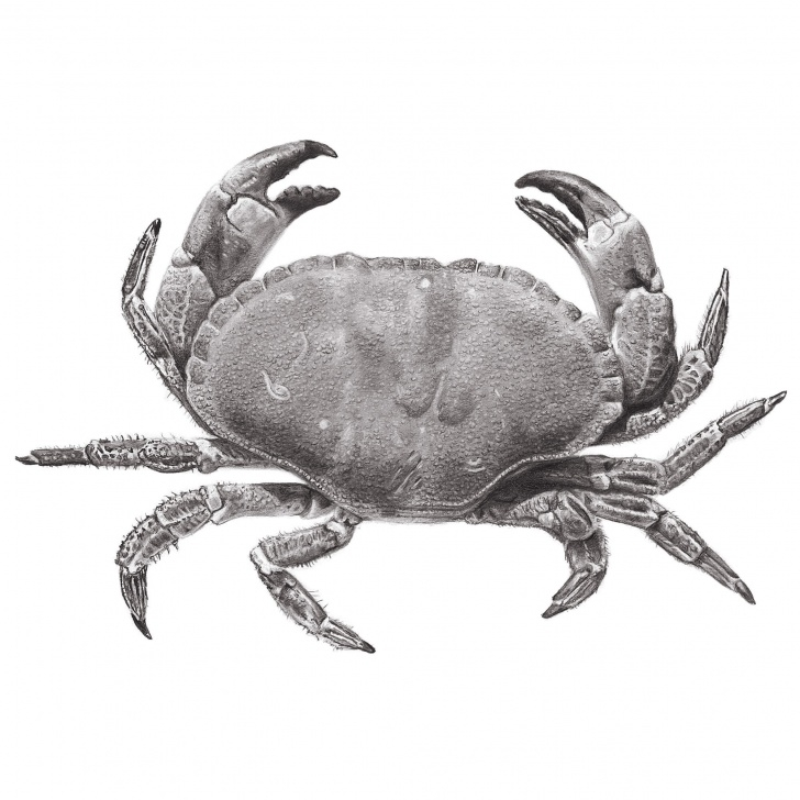 Nice Crab Pencil Drawing Tutorials Edible Crab - Glicée Print Of Graphite Pencil Drawing Photo