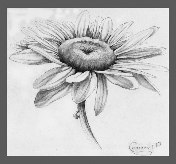 Nice Daisy Pencil Drawing Tutorials Daisy Pencil Drawing Pencil Drawing Of Leaves Pencil Sketch Drawing Images