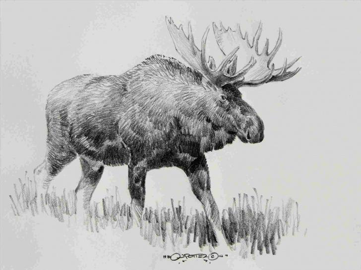 Nice Elk Pencil Drawings Tutorial That-Are-Cool-Whitetail-Pencil-Drawings-Of-Elk-Deer-Pencil-Drawing Images