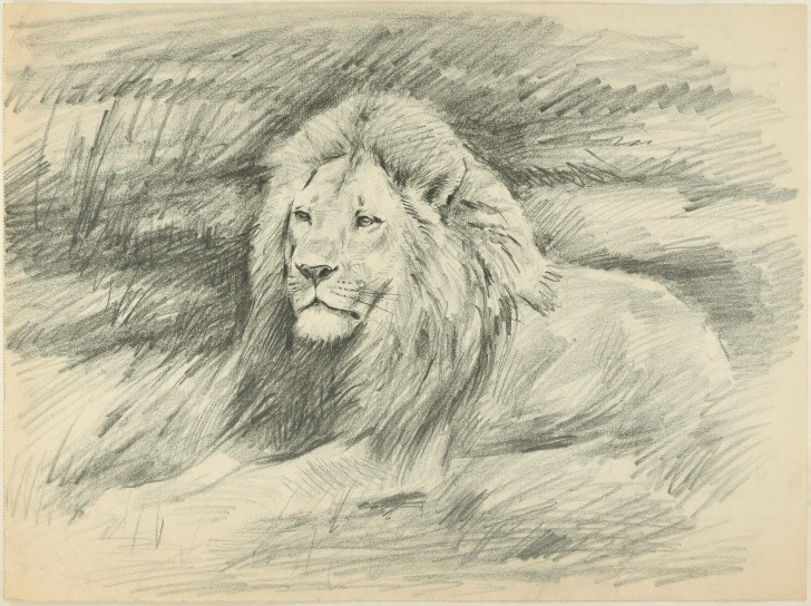 Nice Lion Pencil Drawing Ideas Shape Of A Lion - Original Pencil Drawing By Willy Lorenz - 1940S Photo