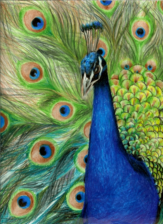Nice Peacock Pencil Drawing With Color Ideas I Love A Peacock | Birds | Color Pencil Art, Pencil Art, Peacock Images