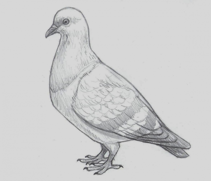 Pigeon Pencil Sketch