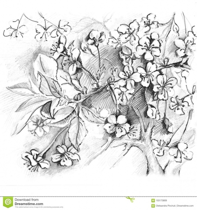 Outstanding Cherry Blossom Pencil Drawing Free Hand Drawn Cherry Blossom. Sketch Sakura, Japan Cherry Stock Image