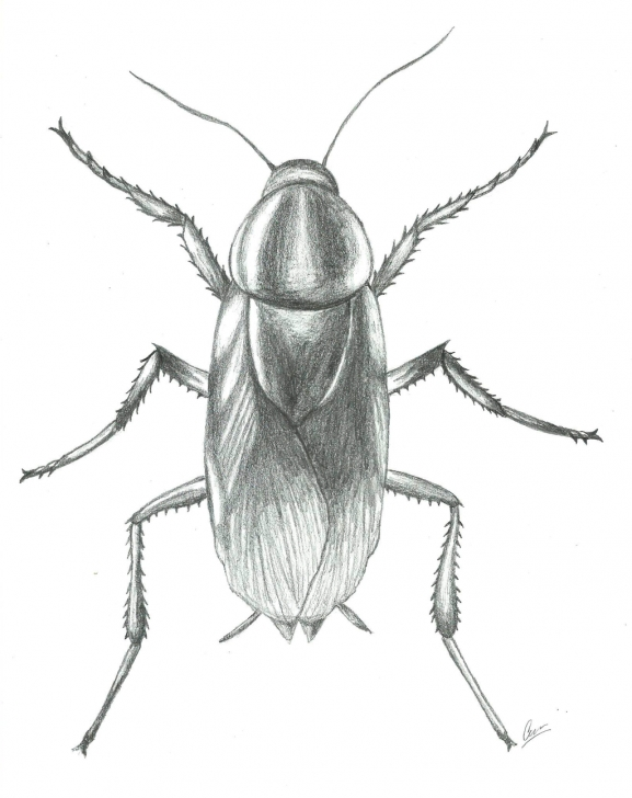 Outstanding Cockroach Pencil Drawing Simple Cockroach Drawing At Paintingvalley | Explore Collection Of Pics