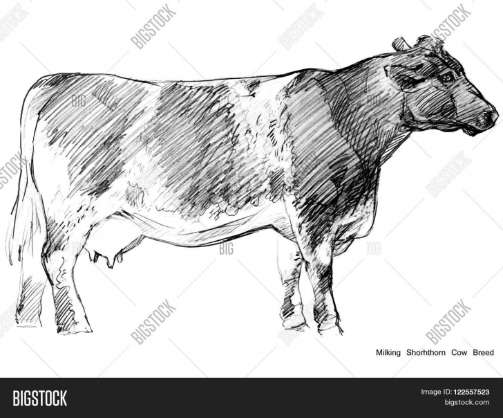 Outstanding Cow Pencil Art Simple Cow Pencil Sketches At Paintingvalley | Explore Collection Of Pictures