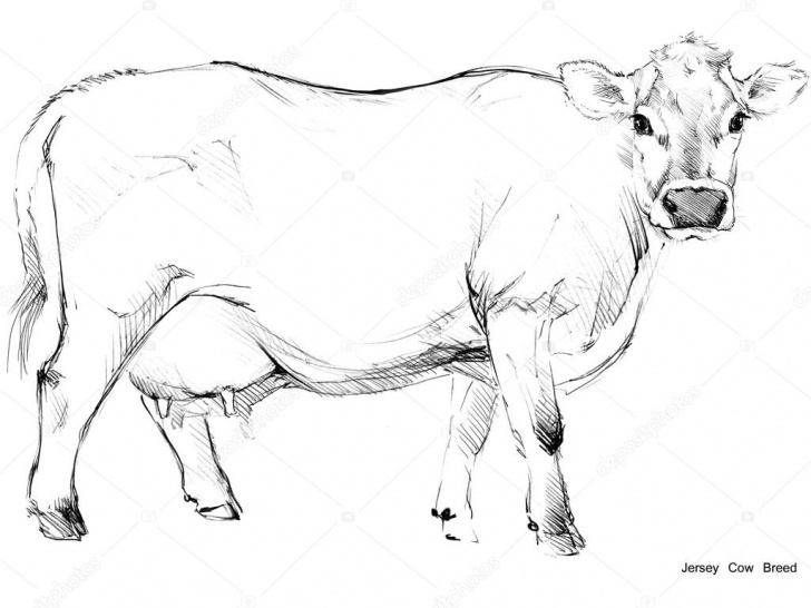 Outstanding Cow Pencil Drawing Simple Cow. Cow Sketch. Dairy Cow Pencil Sketch. Animal Farm. Jersey Cow Image