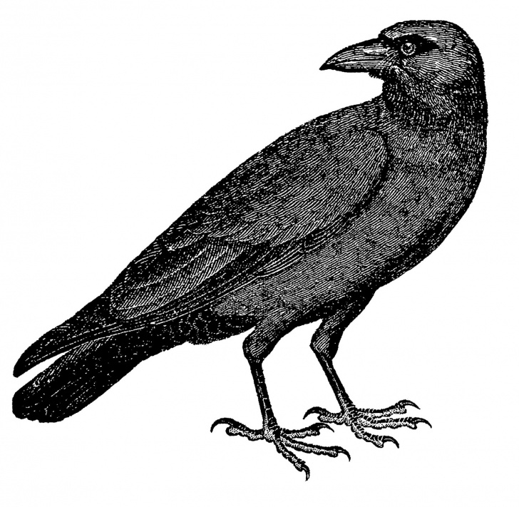 Outstanding Crow Pencil Sketch Simple Crow Pencil Drawing | Free Download Best Crow Pencil Drawing On Pic
