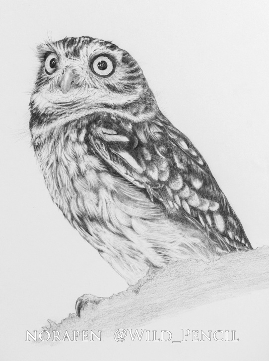 Outstanding Owl Pencil Drawing Courses Pencil Drawing - Little Owl On Behance Photos