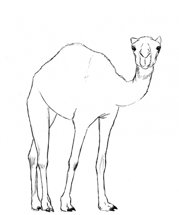 Camel Pencil Sketch
