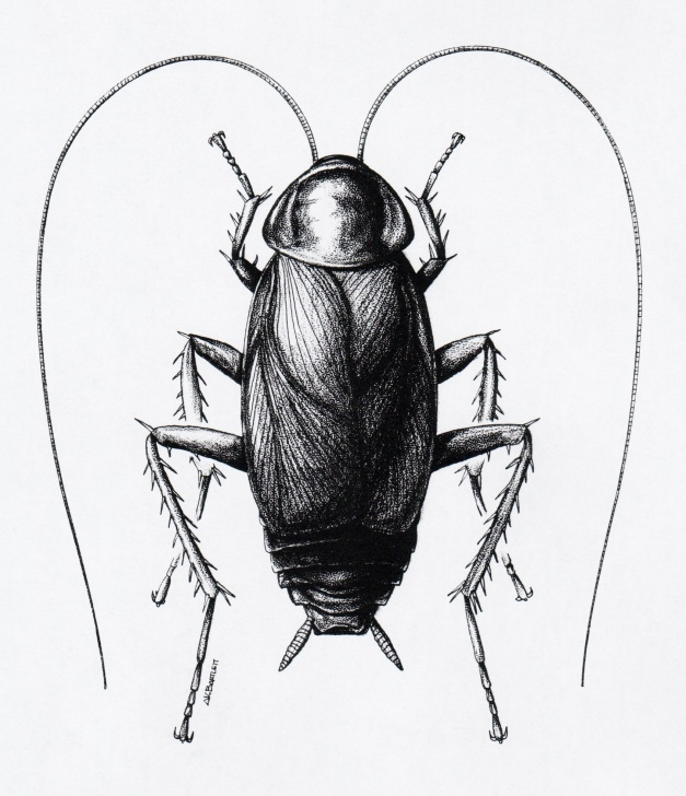 Cockroach Pencil Drawing