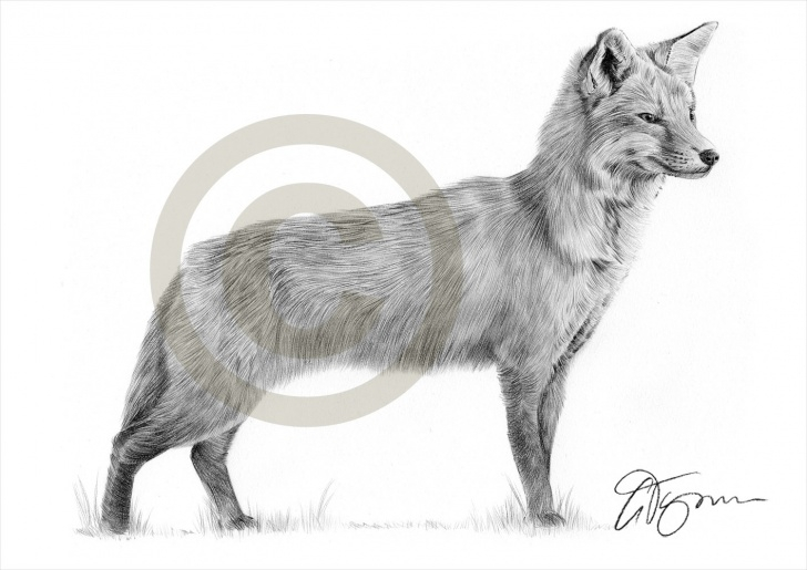 Popular Fox Pencil Sketch Step by Step Fox Pencil Sketch At Paintingvalley | Explore Collection Of Fox Images