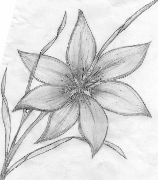 "Popular Lily Pencil Drawing Ideas Lily,pencil Drawing, "" By Maebelle 