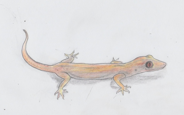 Popular Lizard Pencil Drawing Lessons Asian Gecko, Quick Drawing Project, Jenny Jump, Pencil Drawing Pic
