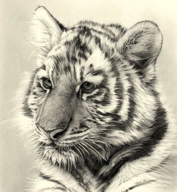 Popular Tiger Pencil Sketch Simple Tiger Cub Pencil Drawing | Better View Finally Finished!! A4… | Flickr Picture