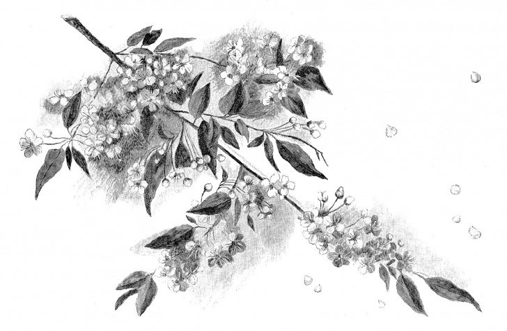 Remarkable Cherry Blossom Pencil Drawing Techniques Digital Stamp Design: Cherry Blossom Pencil Artwork Drawing Digital Pic