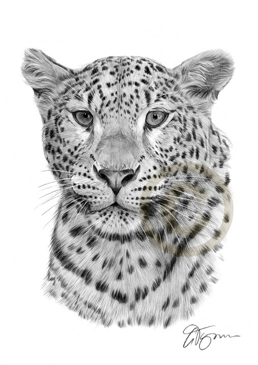 Remarkable Leopard Pencil Drawing Free Pencil Drawing Of A Leopard By Artist Gary Tymon Pictures