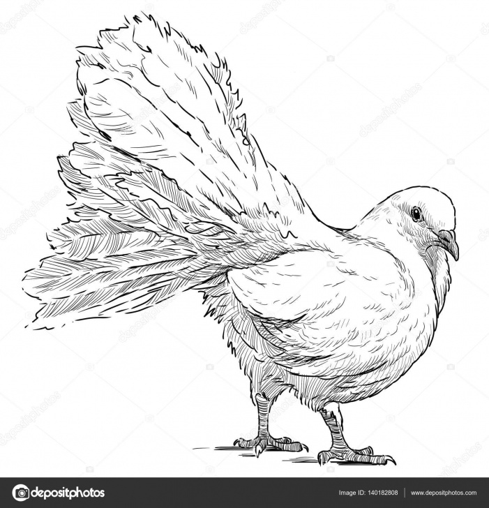 Remarkable Pigeon Pencil Drawing Tutorial Pencil Sketch Of Pigeon | Sketch Of A Wihte Pigeon — Stock Photo Image