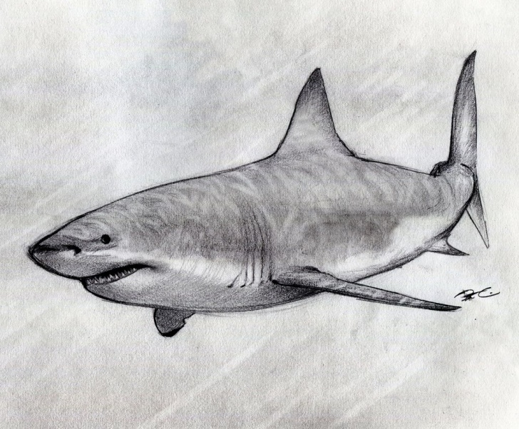 Remarkable Shark Pencil Drawing Tutorial Pencil Sketch Of Shark And Great White Shark Sketch In | Shark Photos