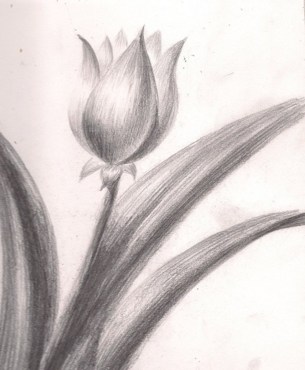 Remarkable Tulip Drawings In Pencil Simple Pencil Sketch Of Tulip And Still Life Drawings Flowers In Pencil Pics