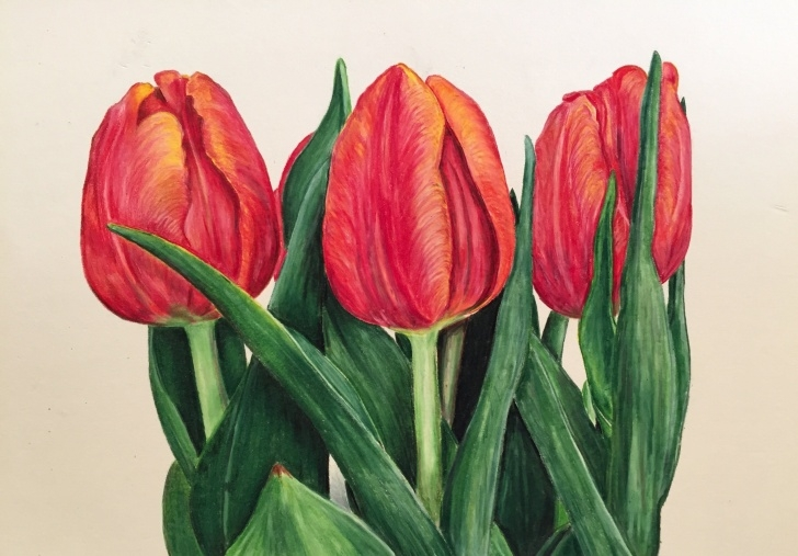 Remarkable Tulip Drawings In Pencil Step by Step Prismacolor Colored Pencil: Tulip Speed Drawing - Youtube | Drawings Pictures